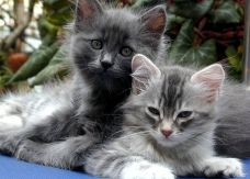 800px-Cats_Petunia_and_Mimosa_2004